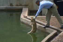 В зоопарке Вашингтона львят учат плавать