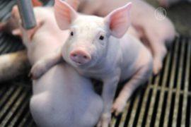 Вирус свиной диареи убивает поросят в США
