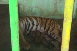 4 суматранских тигрёнка родились в зоопарке «Медан»