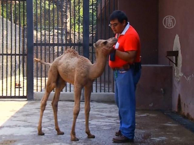 Детёныш дромадера родился в зоопарке Мехико