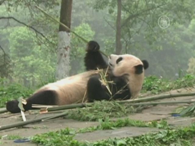 Питомник большой панды в КНР набирает смотрителей