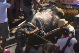 Фестиваль водяных буйволов прошёл на Филиппинах