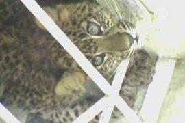 В Индии лесничие спасли заблудившегося леопардёнка