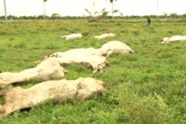 В Боливии скот гибнет от холода
