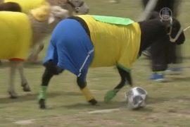 В Колумбии овец заставили играть в футбол