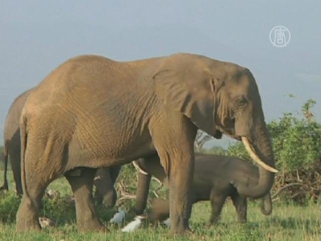 Кенийская полиция изъяла 300 слоновьих бивней
