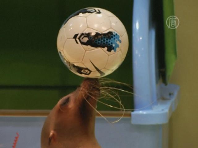 Морского котика в Японии научили забивать голы