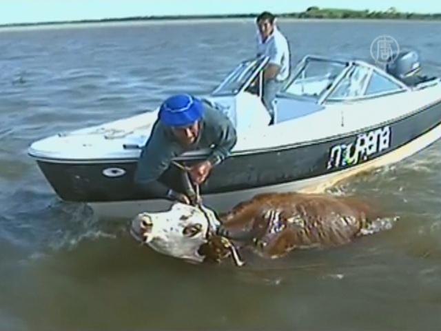 Фермеры Аргентины спасают скот вплавь
