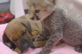 Гепардёнок подружился со щенком