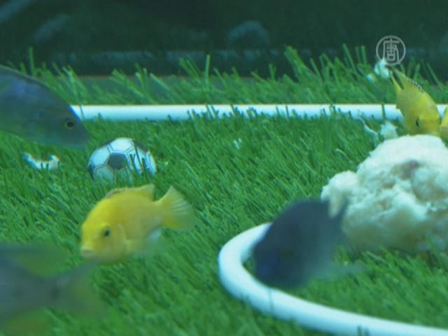 Рыбки в Китае поборолись за Кубок мира по футболу