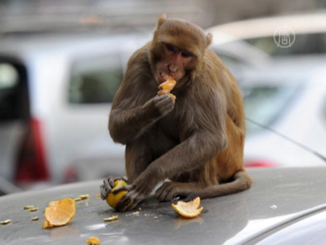 Жителей Агры терроризируют обезьяны