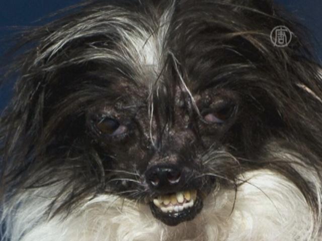 Самую некрасивую собаку выбрали в США