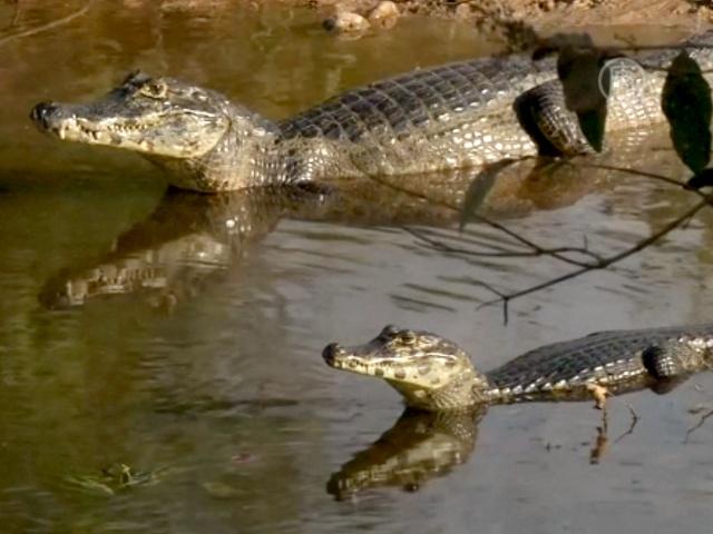 Болельщиков в Бразилии ждут дикие аллигаторы
