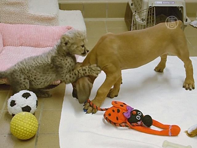 Гепарденок и щенок будут играть на публике