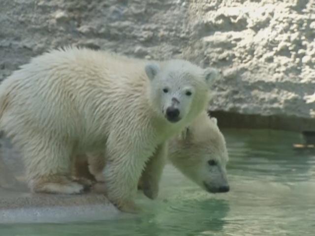 Белые медвежата в Мюнхене входят во взрослую жизнь