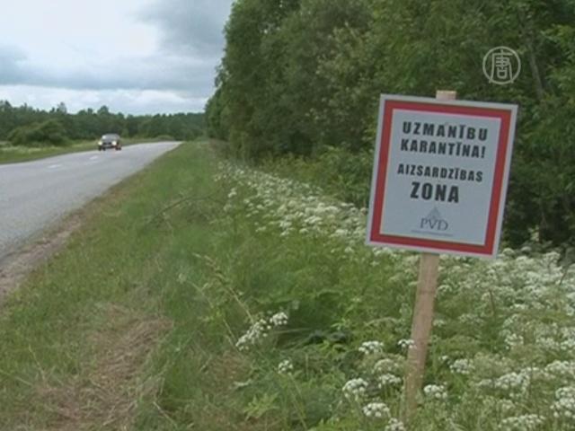Латвия введёт режим ЧП из-за чумы свиней