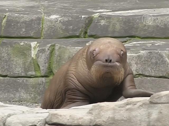 В зоопарке Германии дебютировал моржонок