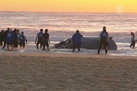 Австралийцы вернули кита в океан