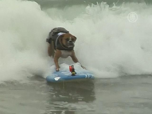 Собаки-серфингисты состязались в Калифорнии