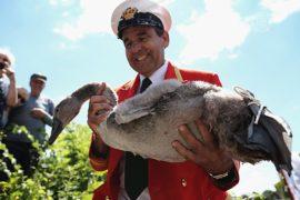 В этом году лебедей в Британии насчитают меньше