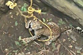В Индии снова вытаскивали леопарда из колодца
