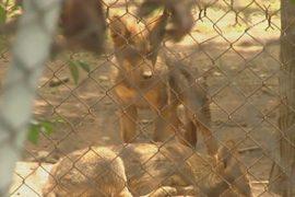 В зоопарке Мексики родились редкие волчата