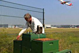 В аэропорту Гамбурга живут десятки тысяч пчел