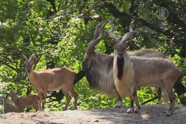 В Нью-Йорке поселилось стадо мархуров