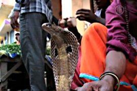 В Индии поят змей молоком ради процветания