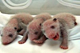 Панды-тройняшки впервые выжили