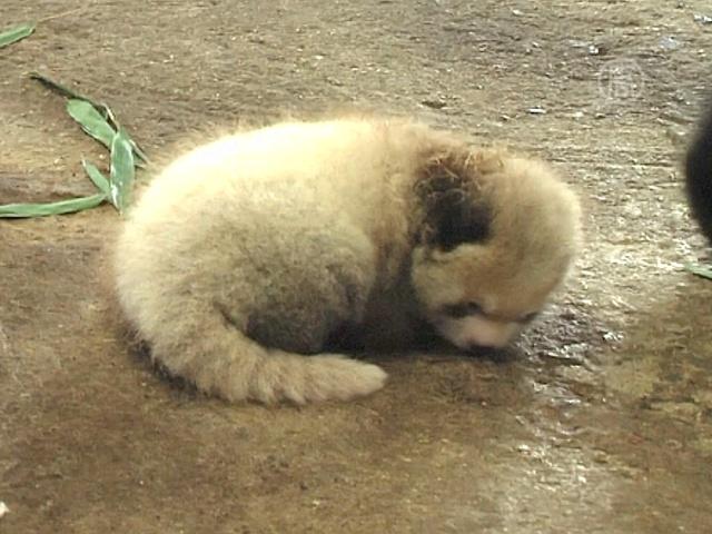 Детеныш малой панды радует японцев