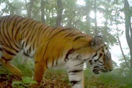 В Китае сняли редкие кадры диких тигров