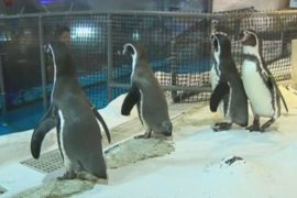 Океанариум в Маниле вырастил первого пингвина