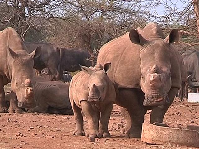 Во Всемирный день носорога эксперты бьют тревогу