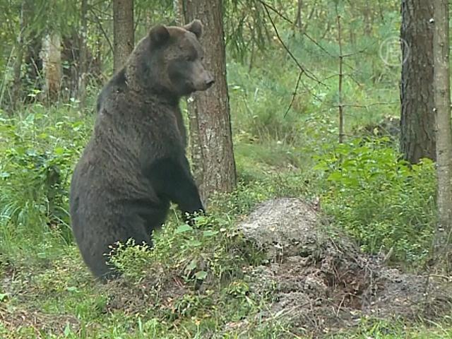 Эстонцы зовут посмотреть на их диких медведей