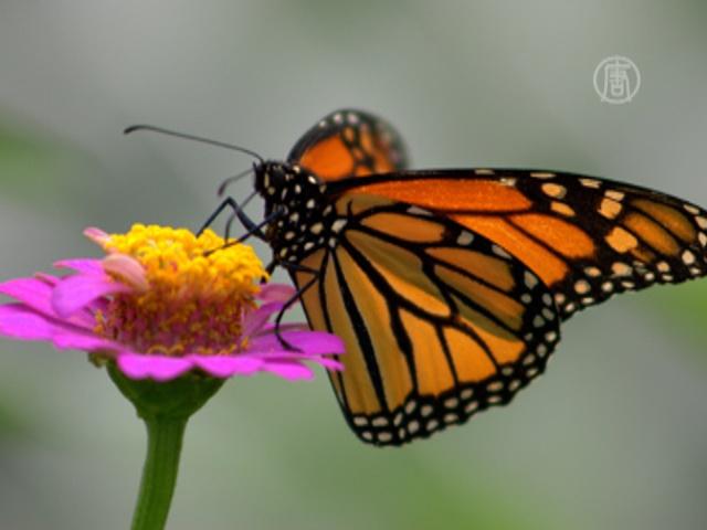 Бабочек-монархов будут охранять власти Мексики