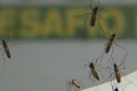 С лихорадкой денге будут бороться сами комары