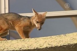 В жилом доме в Чили ловили дикую лису