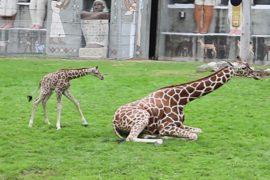 В зоопарке Детройта родился жирафёнок