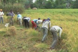 Индийские фермеры бросают урожай из-за обстрелов