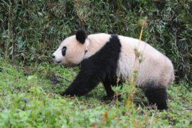 Дикая панда показалась перед туристами в Шэньси