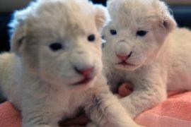 В зоопарке Белграда показали белых львят