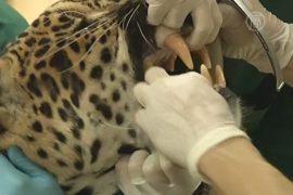 У ягуара взяли образцы ДНК ради сохранения вида