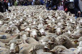 Мадрид заполонили тысячи овец