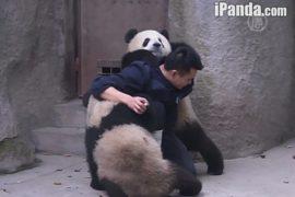Панды сговорились против смотрителя
