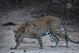Леопард 2 недели не давал покоя жителям Раджаури