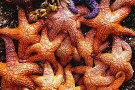 В массовой гибели морских звёзд виноват вирус