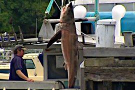 2,5-метровая акула попалась в сети на пляже Сиднея