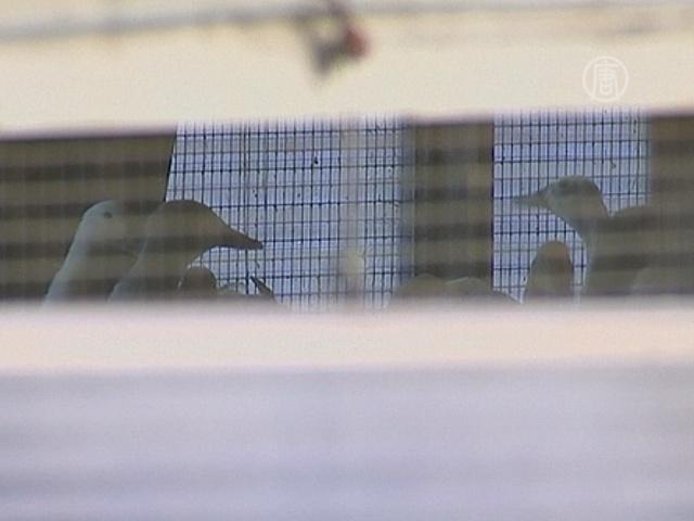 Птичий грипп поразил вторую ферму в Нидерландах
