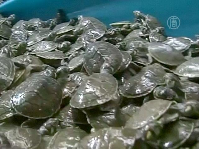 На черном рынке в Перу изъяли 2500 черепах
